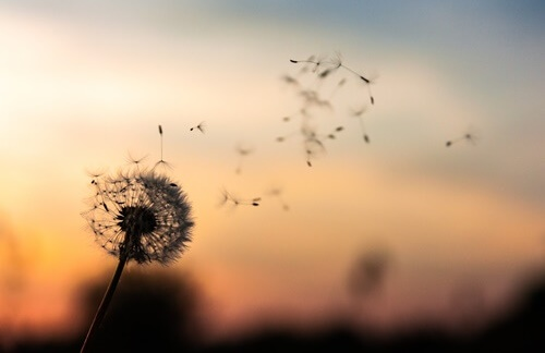 A Dandelion blowing seeds in the wind at dawn
